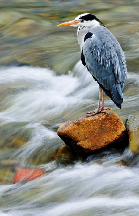 Grey heron (Laurie Campbell)
