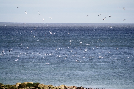 Diving gannets off Dunbar east beach
