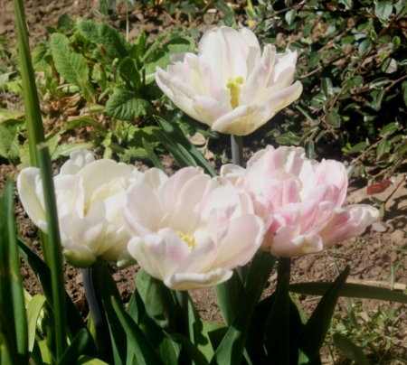 Double headed tulips