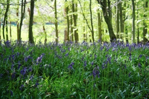 Bluebells at Hedderwick