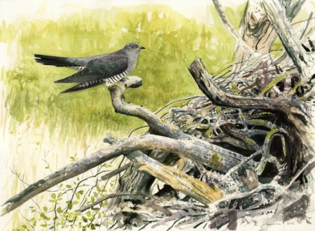 Johnson 1 Male-Cuckoo---Wicken-Richard-Johnson-Watercolour