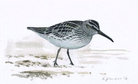 Johnson 2 Spring Broad-billed Sandpiper